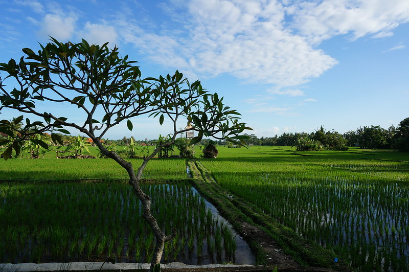 Beautiful rice terraces in the heart of Ubud