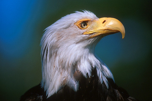 Wildlife in British Columbia, Canada: Bald Eagle