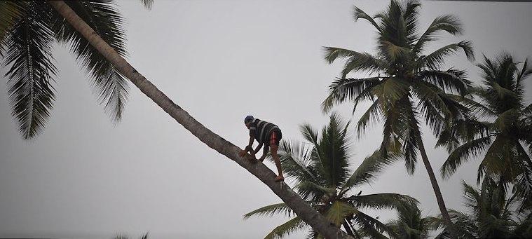 16. Recolectores de cocos. Autor, Travelmeasia