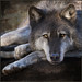 doug's wolf . . . by dragonflydreams88
