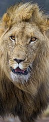 A male lion with nice mane