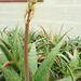 Small photo of Aloe Vera
