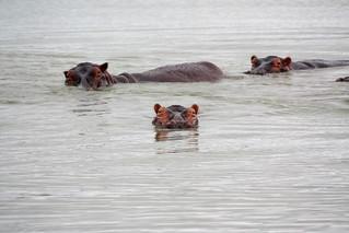 tanzania hipotamos