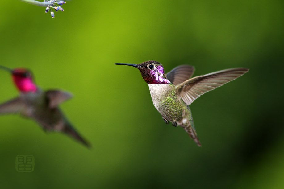 Costa's X Anna's Hybrid Hummingbird 032314