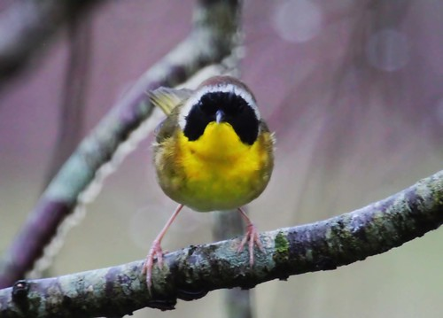 bird northcarolina warblers commonyellowthroat geothlypistrichas richmondcounty woodwarbler geothylpis