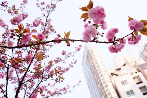 Ginza Sakura street 03