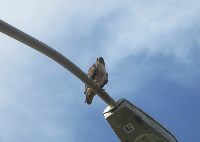 hawk on a streetlight on Great Highway (2014)