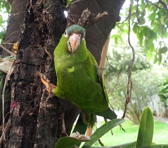 Carapaico, Aratinga acuticaudata, Blue-Crowned Parakeet