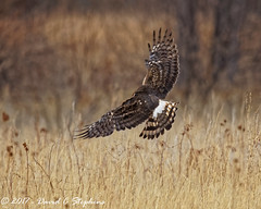 Harrier, Hunting, Sequence 8