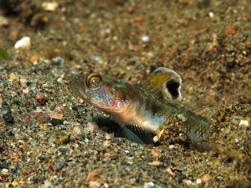 Shrimp Gobies