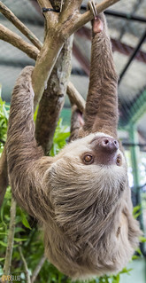 Hoffmann's two-toed sloth Gamboa Wildlife Rescue pandemonio 2017 - 27 | by Eva Blue