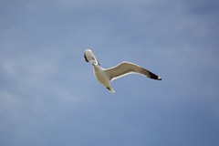 sea gull sfo DSC_0035