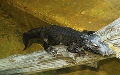 Memphis Zoo 08-31-2016 - West African Dwarf Crocodile 1