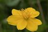 Spindotterbloem / Caltha palustris