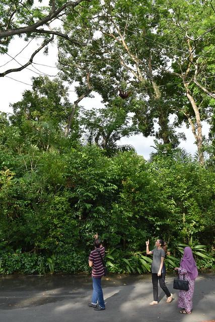 シンガポール動物園で、みんな一度は指差す頭上の放し飼いオランウータン。