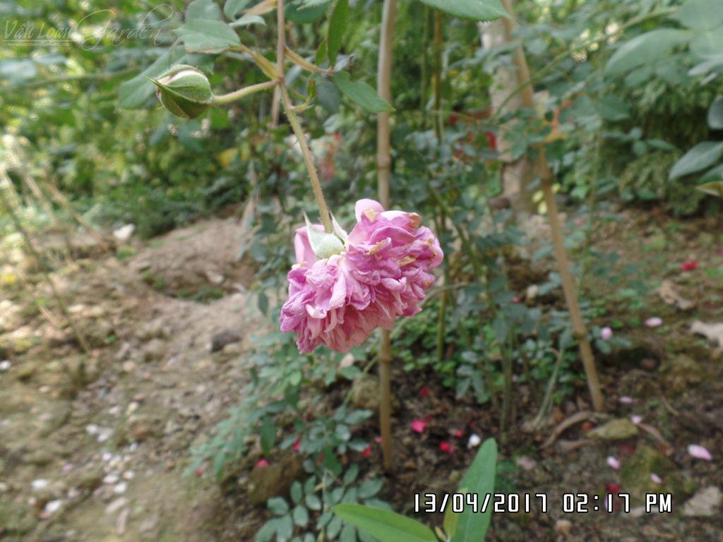 Cánh hoa hồng Huntington Rose (David Austin) rất mềm mại, trông hoa rất thanh lịch, nhưng đây lại là khuyết điểm khi đem cây Huntington trồng ở những nơi có khí hậu quá nóng như Sa Đéc, sau khi nở 1 ngày, nếu gặp nắng to, cánh hoa gần như bị cháy nắng hoàn toàn.