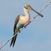 Fork-tailed Spoonbird by PeterBrannon