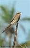 Yellow billed Shrike