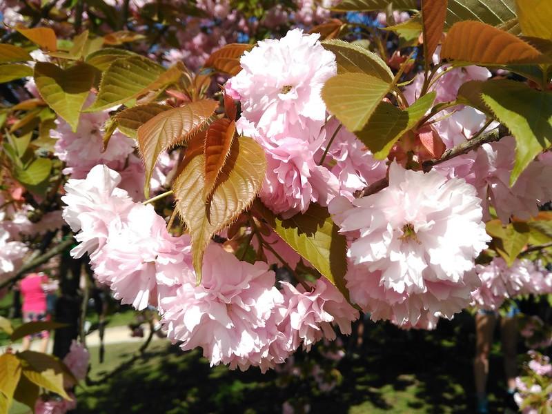 IMG_20170409_145100 yokoso festival: jardín japones - 33978070955 2486de1434 c - Yokoso festival: jardín japones