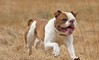 Brick the American Bulldog by ALok fotografie