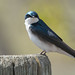 Common house martin by Randy Ruder