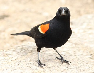 Red-winged blackbird gives a pose