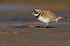 Ringed plover in Norfolk