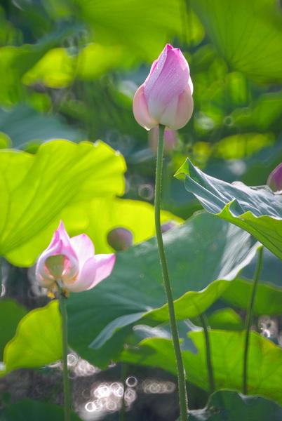 20130527夏日荷風