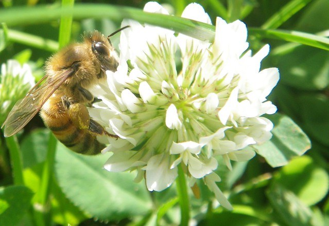 Honey bee on clover in trinity-bellwoods