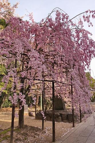 【写真】2013 桜 : 御香宮神社/2019-10-26/IMGP9746