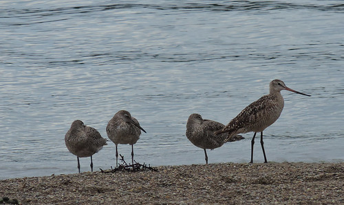 Willet with Marbled Godwit