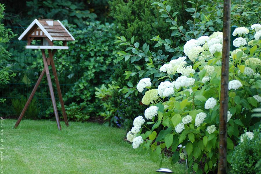 Hydrangeas in my garden
