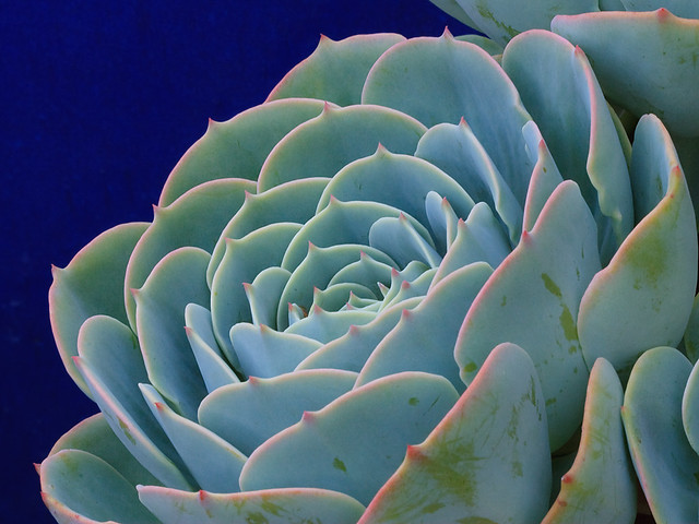 Succulent_9267a from Flickr via Wylio