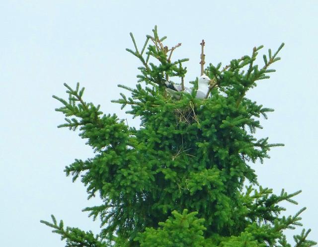 Möwennest in Baum