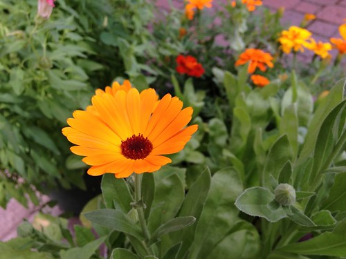 Pot marygold (Calendula officinalis)