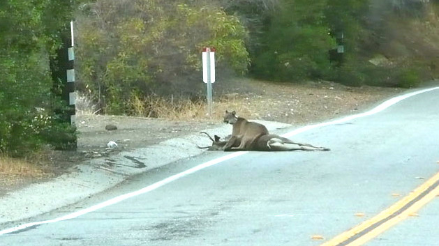 cougar on mulholland