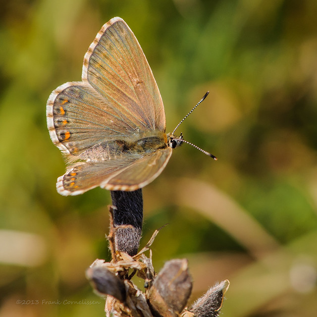 The Provence Chalk-Hill Blue (Female)