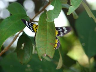 35 Vlinder