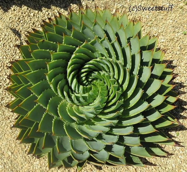 Aloe polyphylla 2