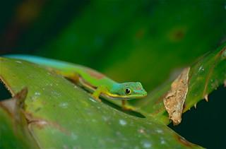 Striped Day Gecko (Phelsuma lineata)