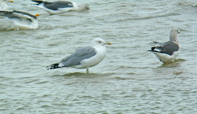 Caspian Gull at Broom GP