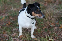 jack russell terrier(0.0), terrier(0.0), dog breed(1.0), animal(1.0), danish swedish farmdog(1.0), dog(1.0), ratonero bodeguero andaluz(1.0), brazilian terrier(1.0), pet(1.0), mammal(1.0), smooth fox terrier(1.0), miniature fox terrier(1.0), toy fox terrier(1.0), parson russell terrier(1.0), fox terrier(1.0), russell terrier(1.0),