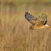 Northern Harrier 20131110_7325 by GORGEous nature