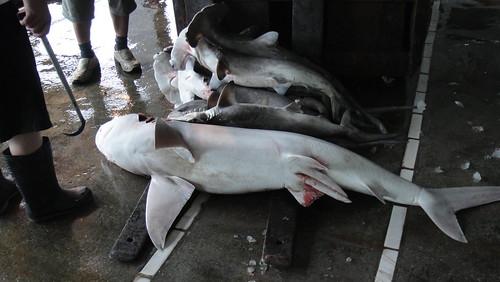 紅肉ㄚ髻鮫:華盛頓公約附錄二保護物種。(圖片來源:荒野保護協會)
