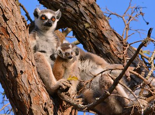 Ring-tailed Lemurs chilling out in the treetops near the Spiny Forest, southern Madagascar.