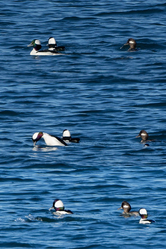 Conservation of Buffleheads
