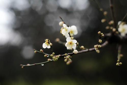 雨中的梅花