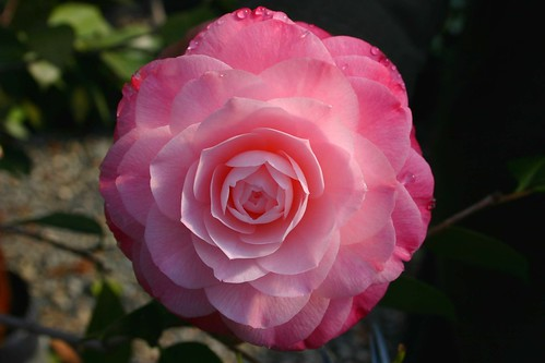 Camellias-Photo-05