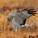 Northern Harrier (male) by jsaraceno1971