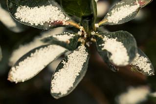 Snow on azalea leaves